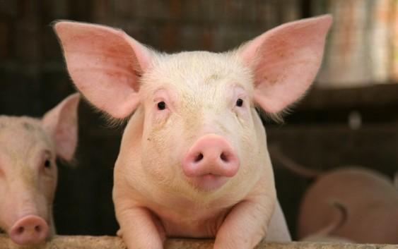 Россия заняла 5-ое место по производству свинины